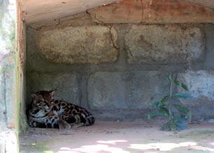 Photo: Oselotti perhospuiston pienessä eläintarhassa - siis melkein jaguaari