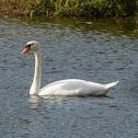Cisne-Mudo