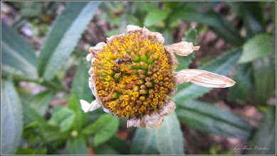 Photo: Margaretă, Stelele pamantului (Leucanthemum... ) - din Turda, de pe Calea Victoriei B15, spatiu verde - 2018.07.13