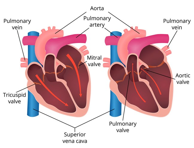 Diagram of how heart valves facilitate blood flow