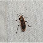 Physopelta gutta 突背斑紅蝽