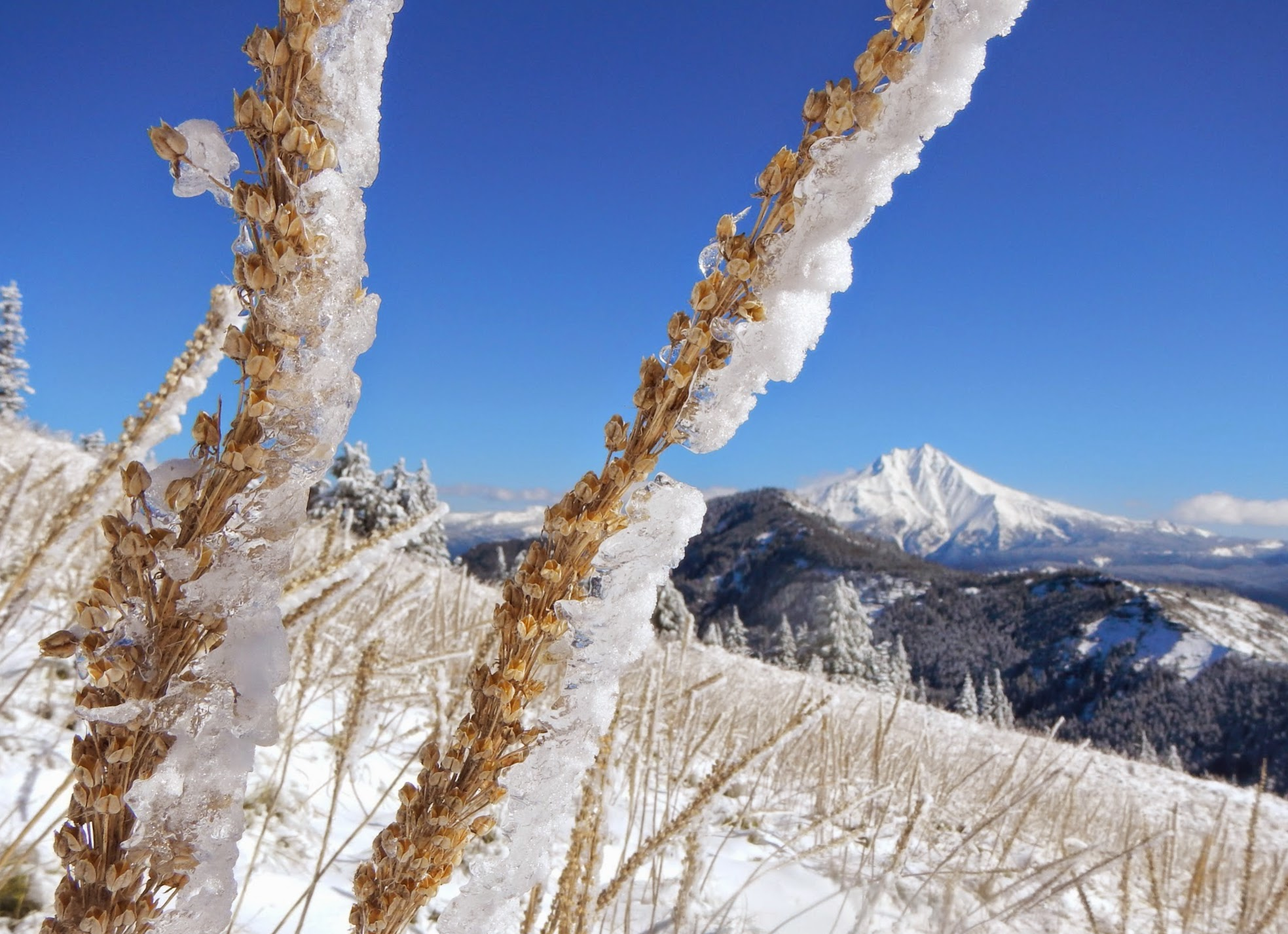 Photo: Ice-coated beargrass