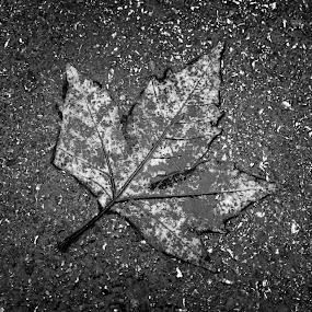 Maple Leaf by Dmitriy Yanushevichus - Nature Up Close Leaves & Grasses ( b&w, black and white, autumn, leaf, road, wet, maple leaf,  )