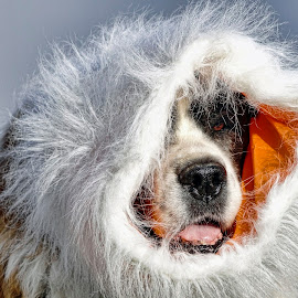 Ready For Winter by Sheen Deis - Animals - Dogs Portraits ( winter, dogs, pets, humor, st. bernards )