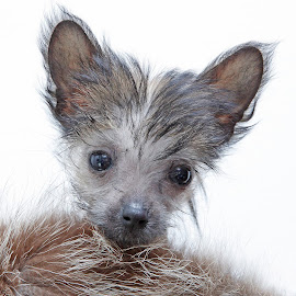 Adorable face by Mia Ikonen - Animals - Dogs Portraits ( mia ikonen, expressive, puppy, chinese crested mix, cute, finland )