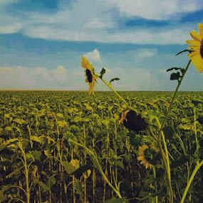 Sunflowers on sunset by Nat Bolfan-Stosic - Flowers Flowers in the Wild ( wildflower, field, sunset, sunflower, summer )