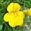 Common yellow monkeyflower