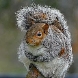 Bushy tailed squirrel by Joanne Calderbank  - Animals Other Mammals ( bushy tail, bright eye, branch, paws, squirrel )