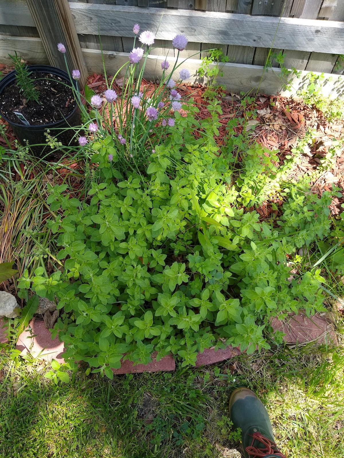 oregano plant picture
