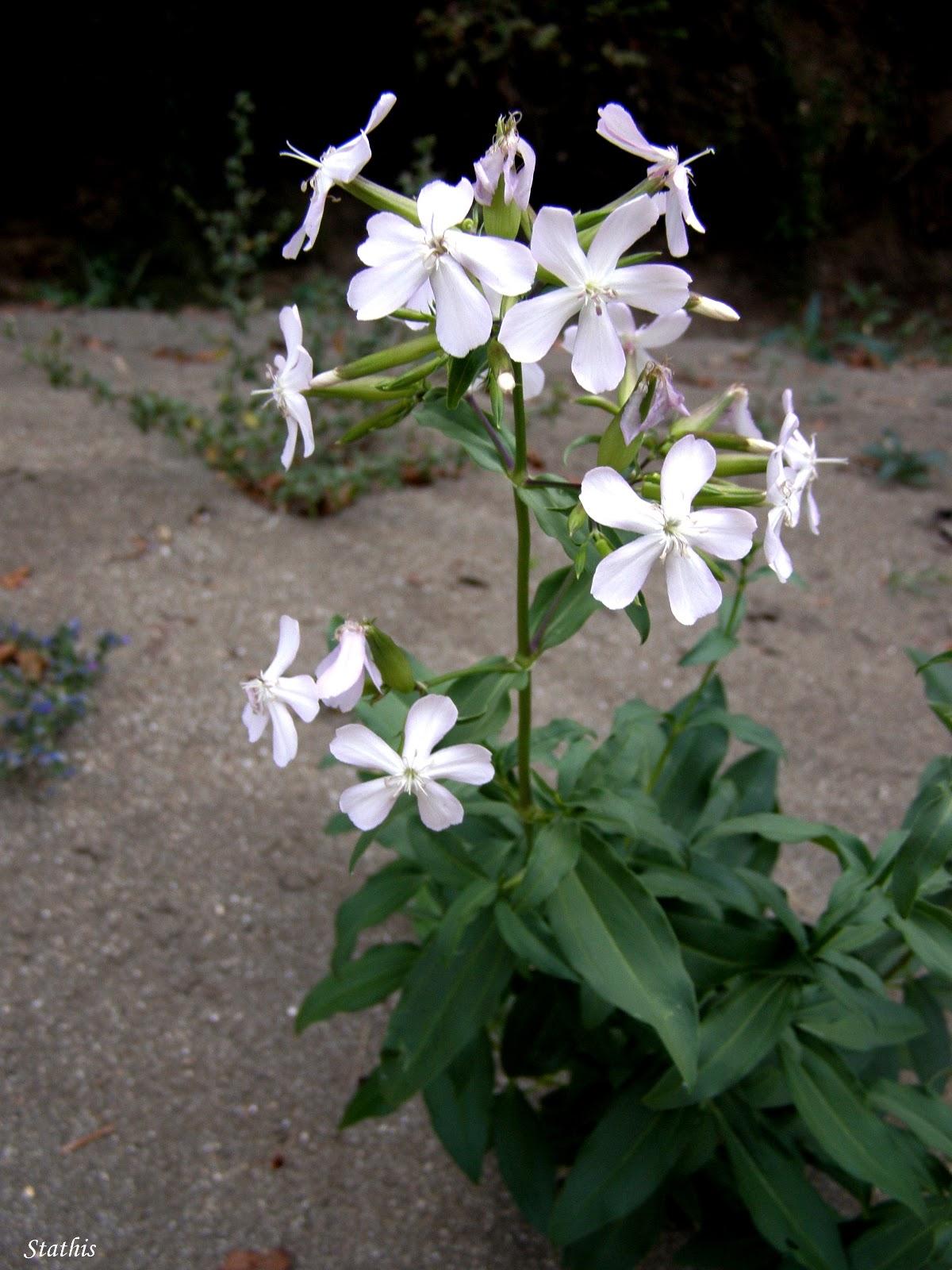 Photo: Saponaria officinalis L. Σαπωνάρια η φαρμακευτική Οικογένεια:Caryophyllaceae _ Καρυοφυλλοειδή Κοινή ονομασία: Γκολαρία, καλοστρούθι, σαπουνόρριζα, τσουένι, χαλβαδόρριζα, στρούθιον, σαπουνόχορτο, αγριογλυκόχορτο Τοποθεσία: Χαράδρα Βίκου  Εξάπλωση: Σε όλη την Ελλάδα. Περιγραφή: Ποώδες, πολυετές φυτό. Φύλλα αντίθετα, ελλειπτικά, προμήκη με 3 ή 5 παράλληλες νευρώσεις. Βλαστός όρθιος, απλός ή διακλαδιζόμενος, με ύψος έως 60 εκατοστά. Άνθη πολυάριθμα με ρόδινο χρωματισμό και 5 πέταλα. Ανθίζει Ιούλιο μέχρι Σεπτέμβριο. Ο καρπός της είναι κάψα.  Βιότοπος: Το συναντούμε σε αμμώδεις εκτάσεις της ορεινής και ημιορεινής ζώνης. https://plus.google.com/+FLORAFAUNAZAGORIGREECE  Μέρη του Φυτού με δραστικές ουσίες:Ρίζωμα, άνθη, φύλλα.  Δραστικές Ουσίες: Σαπορουμπίνη (σαπωνίνη, η οποία υδρολύεται προς γυψογενίνη), Διοσμίνη, Εσπεριδίνη (σαπωνίνες), Βιτεξίνη, Σαποναρίνη (φλαβονοειδές), βιταμίνη C.  Φαρμακολογικές δράσεις-Εφαρμογές: Χρησιμοποιείται ως υπακτικό, αντιρευματικό, χολαγωγό, εφιδρωτικό, διουρητικό, καθαρτικό, τονωτικό, αντιφλεγμονώδες και αποχρεπτικό σε βρογχίτιδα και κατά του ξηρού βήχα. Επίσης, χορηγείται εξωτερικά στην αντιμετώπιση των εκζεμάτων, του κνησμού και των λειχήνων και από του στόματος στη θεραπεία της ουρικής αρθρίτιδας.  Τρόπος Χορήγησης: Χορηγείται υπό τη μορφή αφεψήματος (τσάι, 10gr αποξηραμένης ρίζας ή φύλλων σε ένα φλυτζάνι του τσαγιού νερό, 1-2 φλυτζάνια του τσαγιού την ημέρα) και βάμματος (1-2ml, 3 φορές την ημέρα). Το αφέψημα μπορεί να εφαρμοστεί εξωτερικά υπό την μορφή κομπρεσών στις δερματικές παθήσεις.  Ανεπιθύμητες Ενέργειες: Ελαφρώς τοξική. Πιθανή αιμόλυση.  ΠΑΝΕΠΙΣΤΗΜΙΟ ΙΩΑΝΝΙΝΩΝ ΤΜΗΜΑ ΙΑΤΡΙΚΗΣ ΕΡΓΑΣΤΗΡΙΟ ΦΑΡΜΑΚΟΛΟΓΙΑΣ Φαρμακευτικά Φυτά της Ηπείρου http://mediplantepirus.med.uoi.gr/pharmacology/plant_details.php?id=36