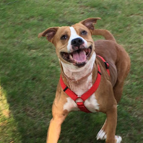 My Pitbull at play by Jolene Tirado - Animals - Dogs Playing