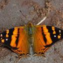 Orange Mapwing