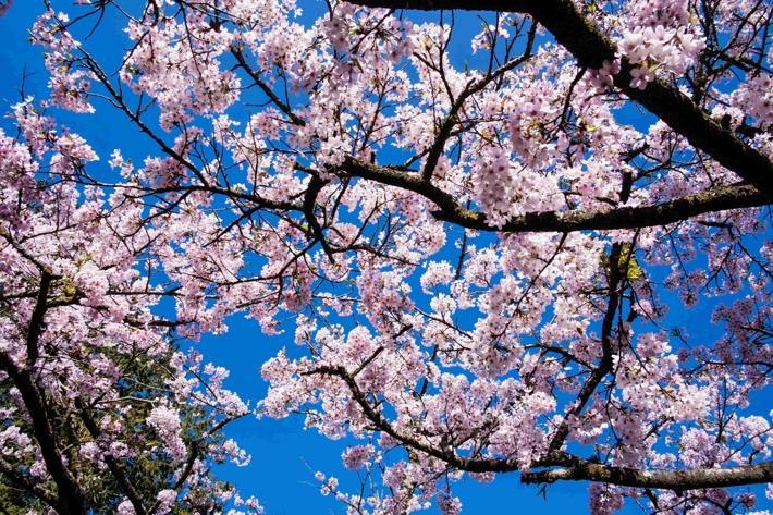 在櫻花期的阿里山自駕遊能感受猶如日本般的體驗