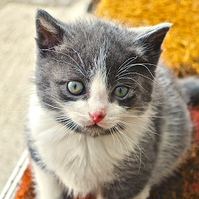 Young Kitten by Doug Wean - Animals - Cats Kittens ( close up, cat face, fur, kitten, nature, cat, cat eyes, animal, portrait, eyes,  )