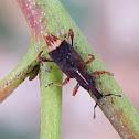 Aterpinae weevil
