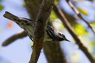 Photo: Black-and-White Warbler