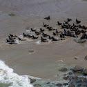 Califonia Sea Lions