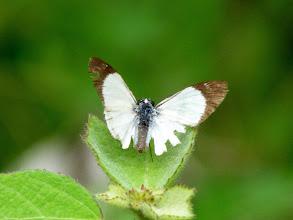 Photo: ALANA  WHITE-SKIPPER---TRACK TO APUYA
