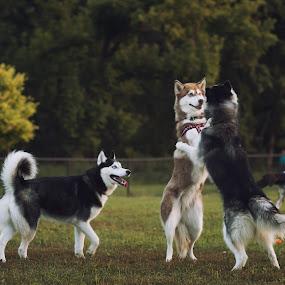 Husky Hug by Jeffrey Zoss - Animals - Dogs Playing ( playing, love, husky, siberian, dog, animal, strange, weird, breed, cat, pet, wild, pwc84, #GARYFONGPETS, #SHOWUSYOURPETS )