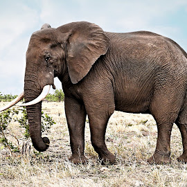 Elephant by Pieter J de Villiers - Animals Other