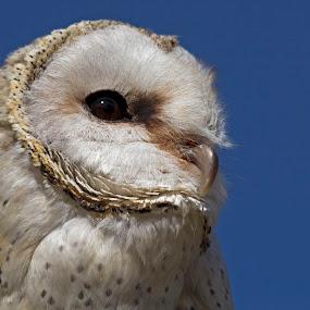 Barn Owl by Tony Wilson - Animals Birds