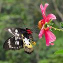 Tithonus Birdwing female