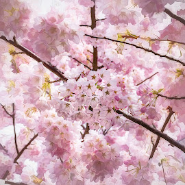 Spring Is Here by Garry Dosa - Flowers Tree Blossoms ( spring, beautiful, flowers, pink, outdoors, cherry trees, blossoms )