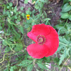 Poppy; red poppy, field poppy