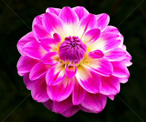 Pink flower single flower flowers pixoto pink flower by naveen naidu flowers single flower mightylinksfo