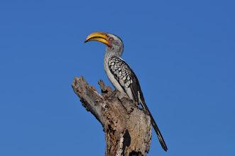 Photo: Hornbill, Sabi Sands, South Africa