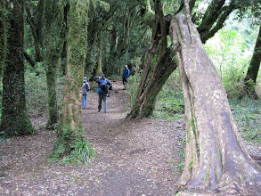 Photo: Day 5 - A rain forest in the Aguas Calientes sector of the Puyehue National Park in the Chilean Lake District