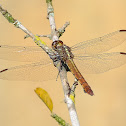 Tropical King Skimmer