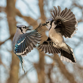 Blue Jays Fighting 9026 by Carl Albro - Animals Birds ( bird in flight, blue jay, flying, fighting, birds )