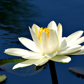 White water lily by Ruth Overmyer - Flowers Single Flower (  )