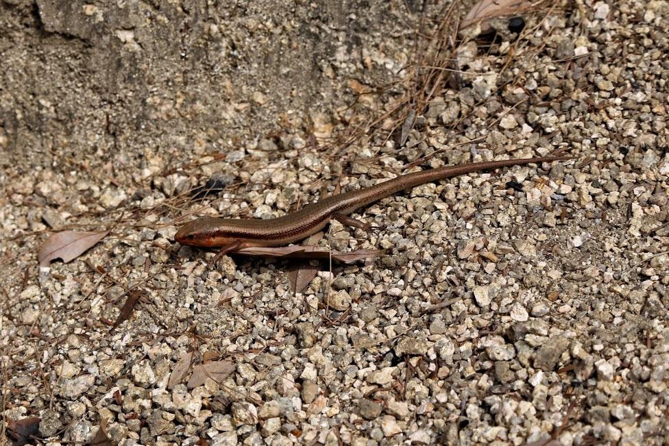 Miyajima, Itsukushima, jaszczurka