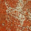 Dot Lichen