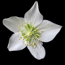WI hellebore 04 by Michael Moore - Flowers Single Flower (  )