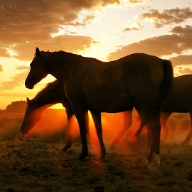 Horses at sunup by Gaylord Mink - Animals Horses ( horses, dust, sunup, morning )