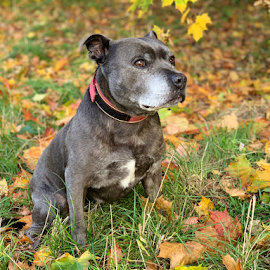Alfie by Wendy Richards - Animals - Dogs Portraits ( staffy, dog, staffordshire bull terrier,  )