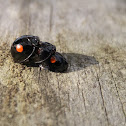 Twice-stabbed Lady Beetle