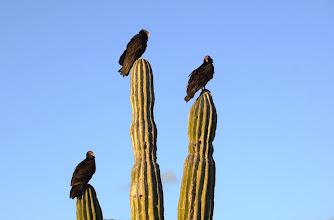 Photo: Turkey vultures on Cardon