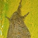 Dasychira tussock moth