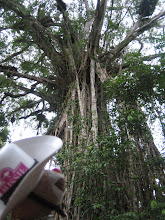 Photo: That's one big tree.