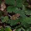 Conical wart pygmy tree frog