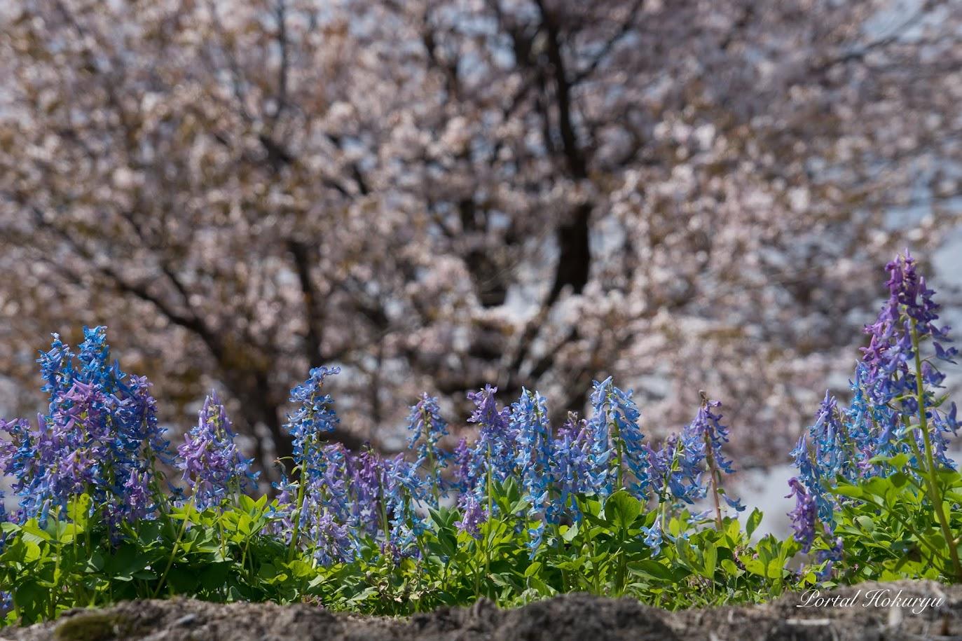 桜とエゾエンゴサクとの響宴