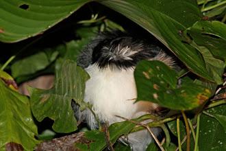 Photo: Great Antshrike (sleeping male)