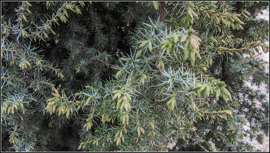 Photo: Conifer, Ienupar - de pe Str. Ion Sion -  2018.04.13