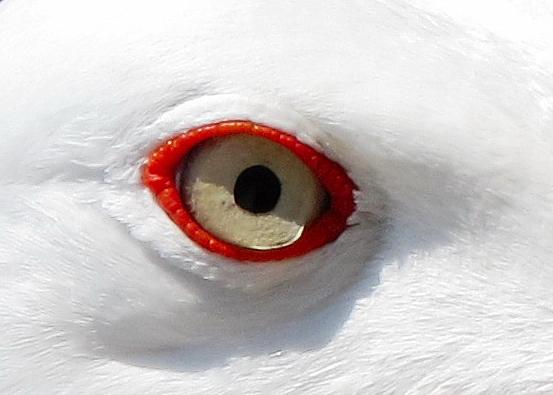 Occhio di gabbiano di lau19