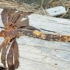 Stalked kelp