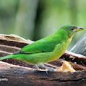 Mielero verde-Green honeycreeper ♀